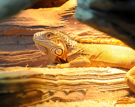 species of creeper: Young brown iguana reptile