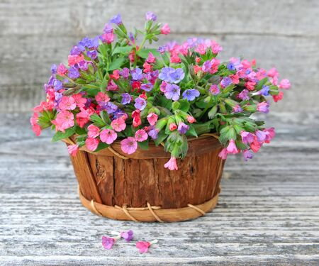 pulmonaria: Flowering Lungwort (Pulmonaria) in a basket on a old wooden background