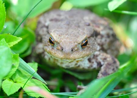 bufo toad: European toad (Bufo bufo) in a green grass Stock Photo