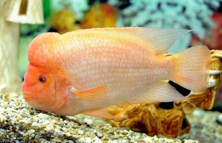 cichlasoma: Tropical fish Cichlasoma citrinellum in aquarium