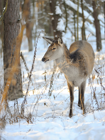 cleave: Beautiful deer in winter forest