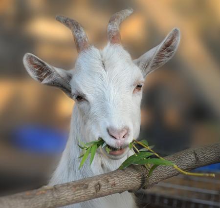 goat head: Goat chews a branch