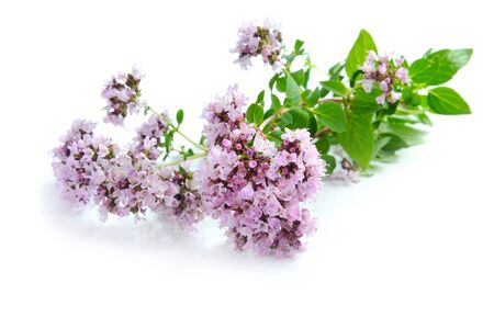origanum: Blossoming oregano (Origanum vulgare) on a white background