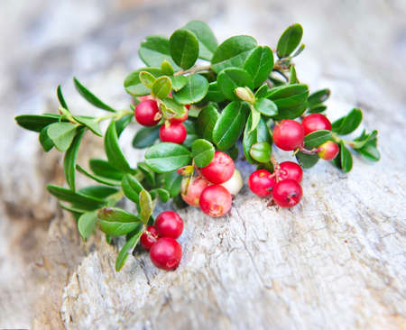 cowberry: Berries of wild cowberry (Vaccinium vitis-idaea) Stock Photo
