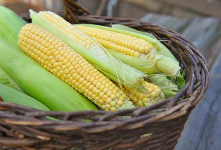 corn kernel: Fresh corn cobs in a basket Stock Photo
