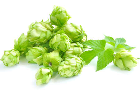 humulus: Small group of cones of hop with sheets (Humulus lupulus) on a white background Stock Photo