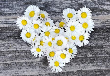 marguerite: Daisy symbole de l'amour sur fond vieux bois Banque d'images