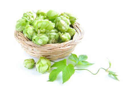lupulus: Branch of hop is with cones and sheets (Humulus lupulus) are in a little basket on a white background Stock Photo