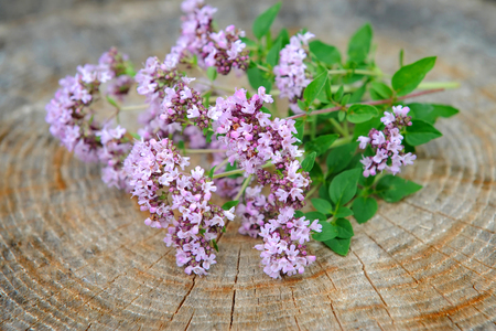 origanum: Bunch of fresh oregano (Origanum vulgare)