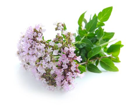 origanum: Bunch of fresh oregano (Origanum vulgare) isolated on white background Stock Photo