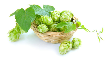 humulus: Branch of hop is with cones and sheets (Humulus lupulus) are in a little basket on a white background Stock Photo