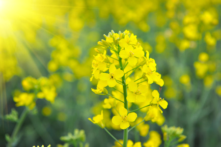 napus: Close-up of canola or rapeseed blossom (Brassica napus)