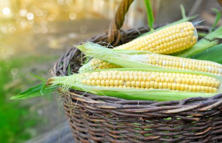 mais: Fresh corn cobs in a basket Stock Photo