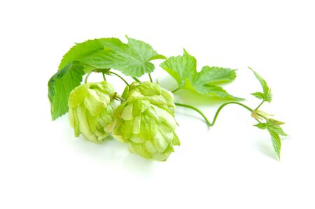 humulus: Branch of hop is with cones and sheets (Humulus lupulus) on a white background Stock Photo