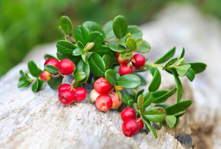 cowberry: Berries of wild cowberry (Vaccinium vitis-idaea) on a natural background