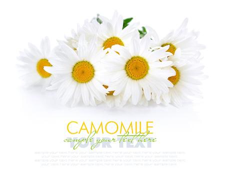 Kamille bloemen op een witte achtergrond met ruimte voor tekst