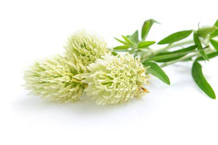 trifolium: Clover flowers (Trifolium montani) on a white background
