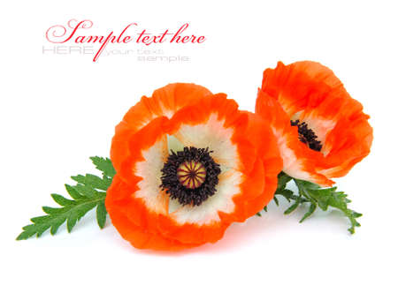 capita: Red poppies isolated on white