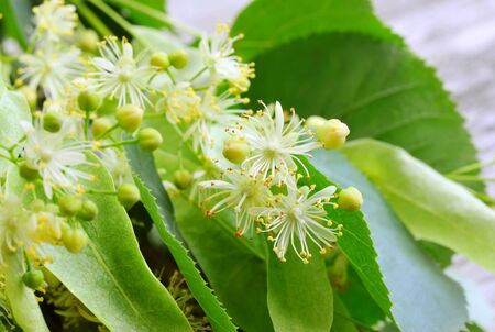 linden: Flowers of linden tree