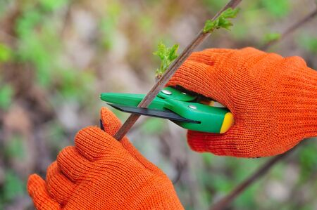secateur: Hands with gloves of gardener doing maintenance work, cutting the bush