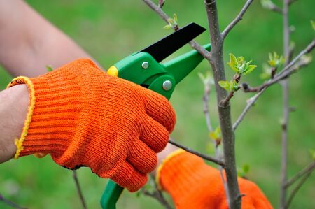leaf cutter: Hands with gloves of gardener doing maintenance work, pruning the tree Stock Photo