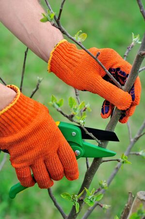 secateur: Hands with gloves of gardener doing maintenance work, pruning the tree Stock Photo
