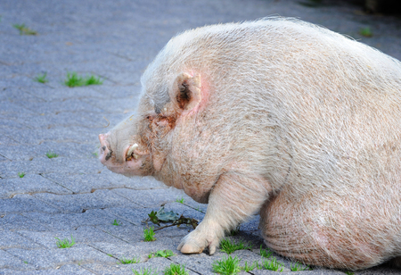 porker: Closeup miniature pig (sus) view of profile