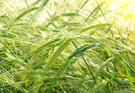 blé vert dans le domaine