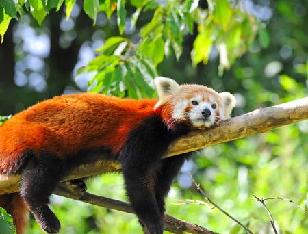 catlike: Red panda on tree