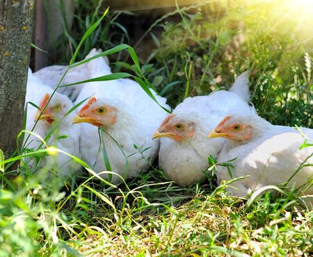 cluck: Young hens Stock Photo