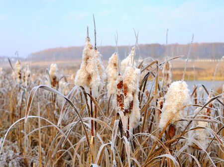 cattails: Winter hoarfrost on cattails at edge of lake