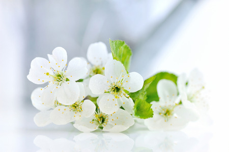 wateringcan: Cherry twig in bloom on a white table with a watering-can in the background