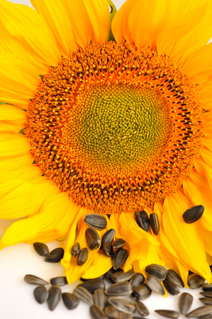Yellow sunflowers and sunflower seeds on a white background. Close up