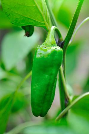 capsicum: Growing green pepper close up (Capsicum annuum) Stock Photo