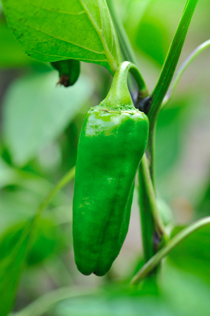 green pepper: Growing green pepper close up (Capsicum annuum) Stock Photo