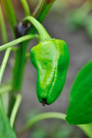 capsicum plant: Green pepper plant with fruit (Capsicum annuum)