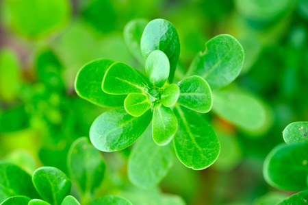 Fresh purslane closeup (Portulaca oleracea). Organic vegetables