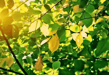 sunbeams: Beech autumn leaves in sunbeams