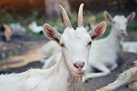 Sluit omhoog portret van een geit, buitenkant in een binnenplaats van de boerderij Stockfoto