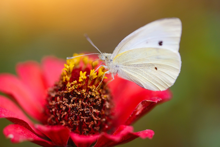 pieris: Pieris brassicae butterfly on a red flower zinnias Stock Photo