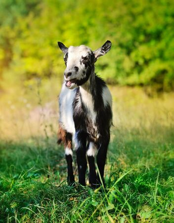 A young goat in the pasture Stock Photo