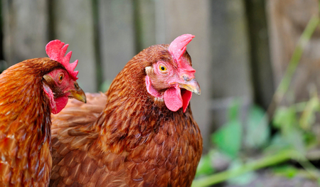 Cute young hens is in the courtyard of the farm Stock Photo