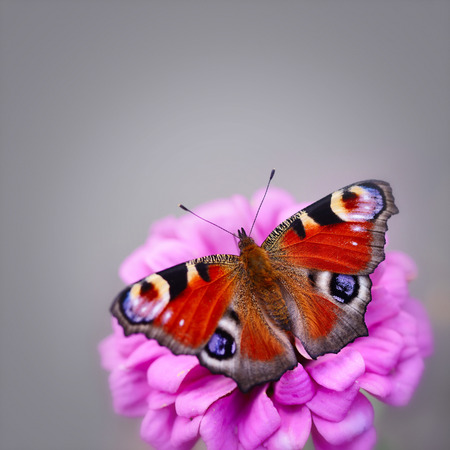 neutral background: Peacock Butterfly (Inachis io) on a pink flower zinnias on a neutral background with space for text Stock Photo
