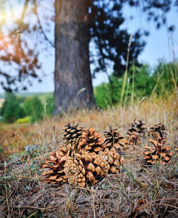 intentional: Pine cones on the forest floor with intentional shallow depth of field