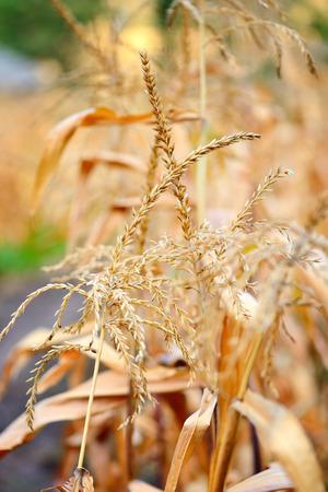 corn flower: Closeup of Corn flower. Autumn background Stock Photo