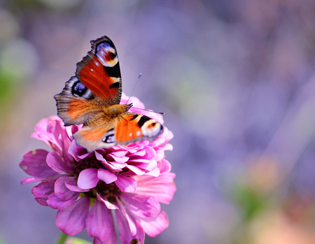 Peacock Butterfly (Inachis io) on a pink flower zinnias on a natural background with space for text Stock Photo