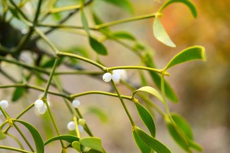 Mistletoe with whitw berries - Viscum album White berries on mistletoe