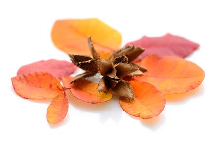 albero nocciolo: noci di faggio con le foglie d'autunno su uno sfondo bianco