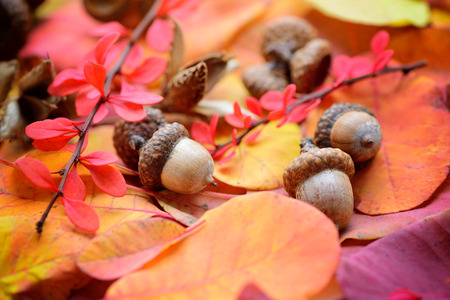 Acorns are on the colorful autumn leaves