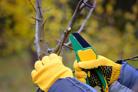 secateur: Hands with gloves of gardener doing maintenance work, pruning trees in autumn